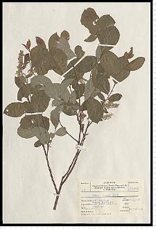 Salix starkeana Willd.