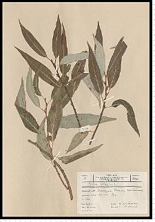 Salix fragilis L.