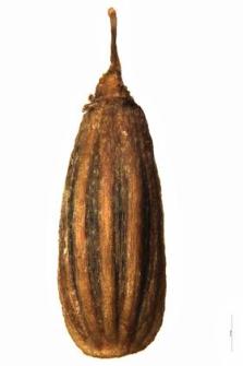 Oenanthe phellandrium Lam.