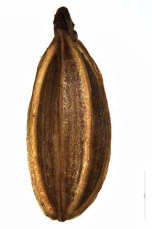 Mutellina purpurea (Poir.) Thell.