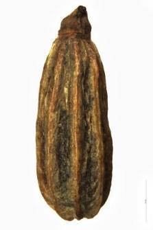 Foeniculum capillaceum Gilib.