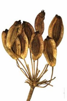 Peucedanum carvifolia