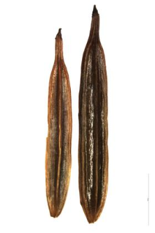 Myrrhis odorata (L.) Scop.