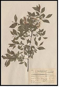 Salix myrsinifolia Salisb.