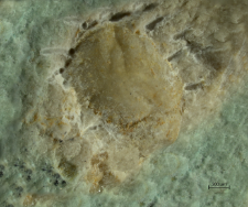 Tanidromites species