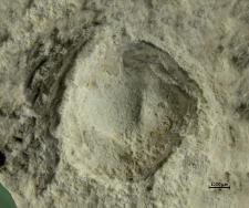 Laeviprosopon species