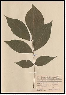 Carya laciniosa (F. Michx.) Loudon
