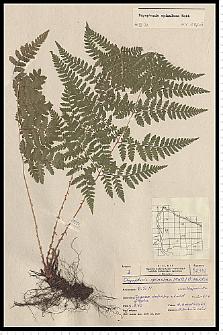 Dryopteris carthusiana (Vill.) H. P. Fuchs