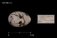 Schoeniclus schoeniclus