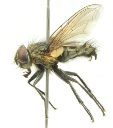 Pollenia labialis Robineau-Desvoidy, 1863