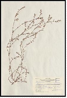 Polygonum aviculare L.