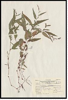 Polygonum hydropiper L.