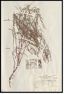 Rumex tenuifolius (Wallr.) Á. Löve
