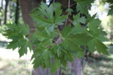 Acer saccharinum L.