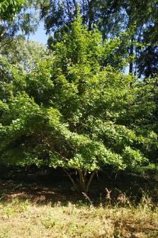 Acer truncatum Bunge