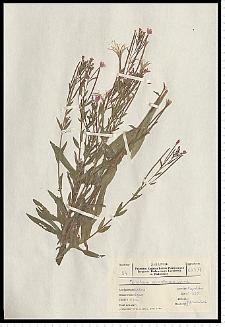 Epilobium parviflorum Schreb.
