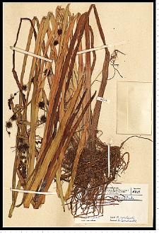 Sparganium erectum L. em. Rchb.