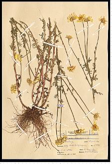 Anthemis tinctoria L.