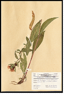 Centaurea phrygia L.