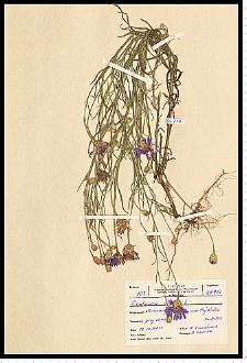 Centaurea cyanus L.