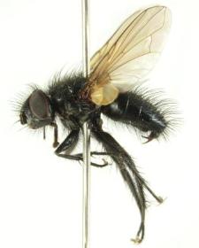 Dufouria chalybeata (Meigen, 1824)