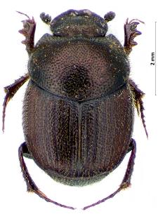 Onthophagus grossepunctatus Reitter, 1905
