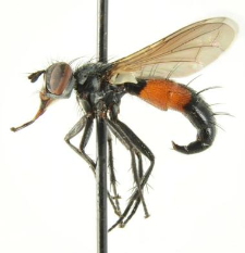 Cylindromyia interrupta (Meigen, 1824)