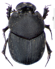 Onthophagus semicornis (Panzer, 1798)
