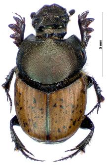 Onthophagus vacca (Linnaeus, 1767)