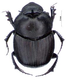 Onthophagus verticicornis (Fabricius, 1777)