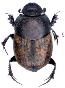 Onthophagus fracticornis (Preyssler, 1790)