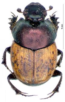 Onthophagus coenobita (J.F.W. Herbst, 1783)