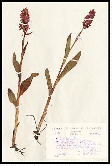 Dactylorhiza majalis (Rchb.) P. F. Hunt & Summerh.