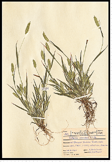Setaria viridis (L.) P. Beauv.
