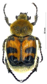 Trichius fasciatus (Linnaeus, 1758)