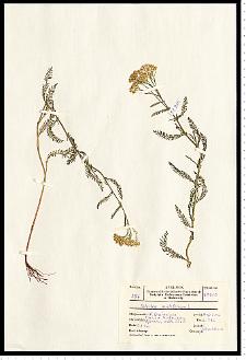 Achillea pannonica Scheele