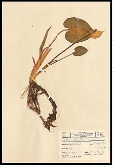 Calla palustris L.