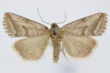 Phyllophila obliterata