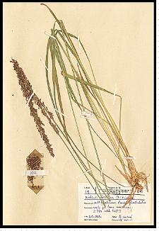 Molinia caerulea (L.) Moench