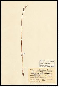 Corallorhiza trifida Châtel.