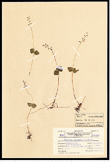Listera cordata (L.) R. Br.