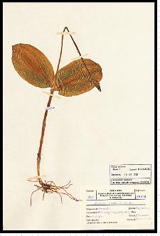Listera ovata (L.) R. Br.