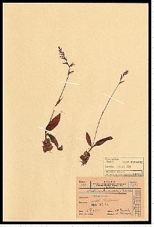 Neottianthe cucullata (L.) Schltr.