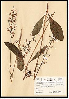 Platanthera chlorantha (Custer) Rchb.