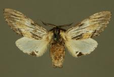 Harpyia milhauseri (Fabricius, 1775)