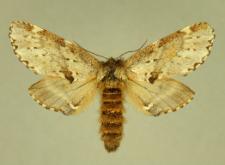 Odontosia sieversii (Ménétriés, 1856)