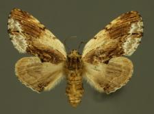 Ptilodon cucullina (Denis & Schiffermüller, 1775)