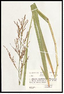 Glyceria maxima (Hartm.) Holmb.