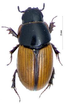 Aphodius merdarius (Fabricius, 1775)