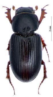 Aphodius rotundangulus Reitter, 1900
